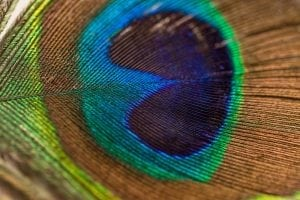 A photo of a peacock feather