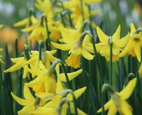 A photo of yellow daffodil flowers