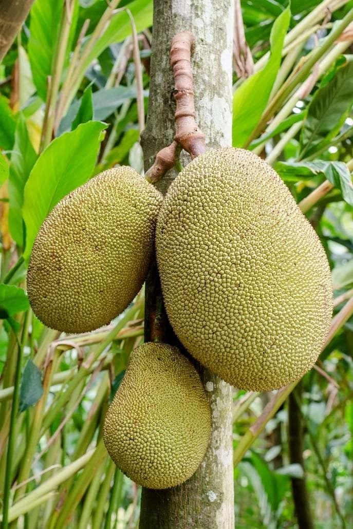 A photo of Jackfruit hanging